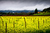 Napa Valley Mustard Field After a Storm