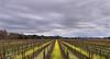 Napa Valley Vineyard in Spring