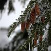 40  G Snowy Pinecones V
