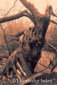 Twisted Tree, Celery Farm, Allendale, NJ