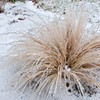 Mulenbergia ornamental grass