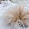 Mulenbergia ornamental grass