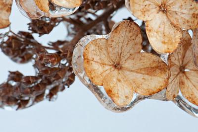 little flowers from Oak Leaf Hydrangia encased in ice