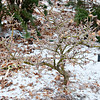 Acer palmatum Mica yatsabusa slow growing treasure