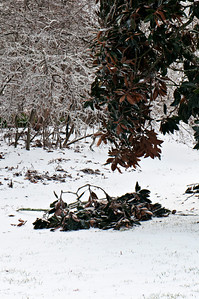 Poor  'Little Gem Magnolia'... I'm afraid there will be many, many limbs to break before the ice is gone.  Strangely, it seemed to have the least ice coating than most of the trees I observed.