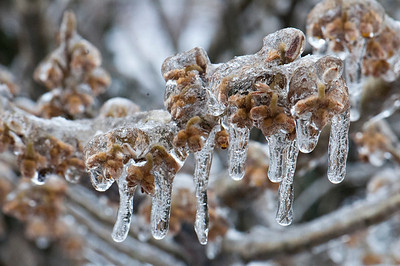 Inside this ice is a very beautiful 'Arnold's Promiss' Witch Hazel...Hope it makes the thaw.