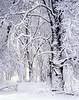 Snowy morning, oaks