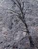 Snow-etched black oak