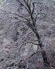 Snow-etched black oak