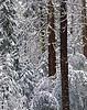 New snow, morning. Cedar and spruce