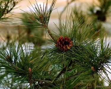 Pine Tree w:pineconeDSC_0050