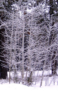 snowtrees1