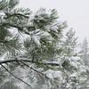 Snow Trees SS83463