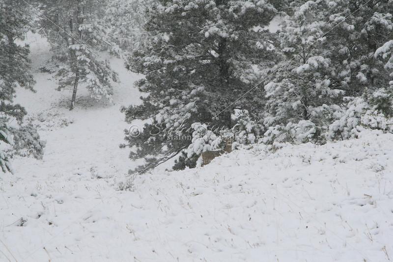 Mule Deer in Snow SS84663