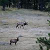 Mountain Elk SS83560
