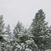 Snow in Pines SS83466