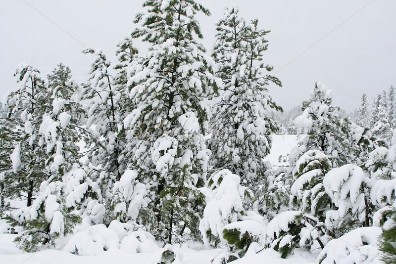 First Snow SS84722