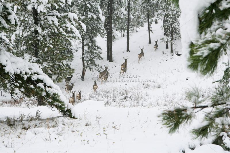 Mule Deer in Mountain Snow SS84876