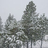 Snow Trees SS83462