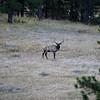 Bull Elk SS83571
