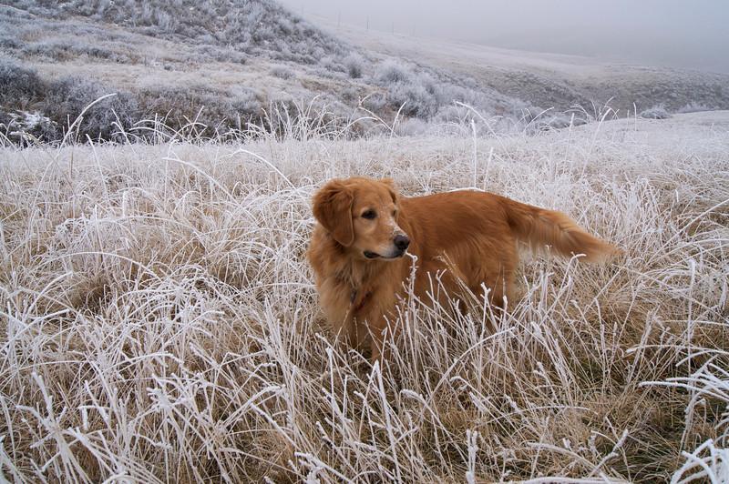 Golden Retriever, Gretel, enjoys a romp through the frozen fields of North Table Mountain near Golden, Colorado.
