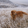 Golden Retriever, Gretel, enjoys a romp through the frozen fields of North Table Mountain near Golden, Colorado.