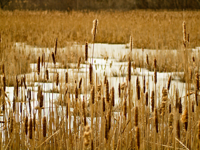 Cattails in a frozen saltmarsh<br /> at Ordione Point, taken with my manual OM 65-200 nearly wide open (f5.6 or so).  I like the tones and contrast with the snow.