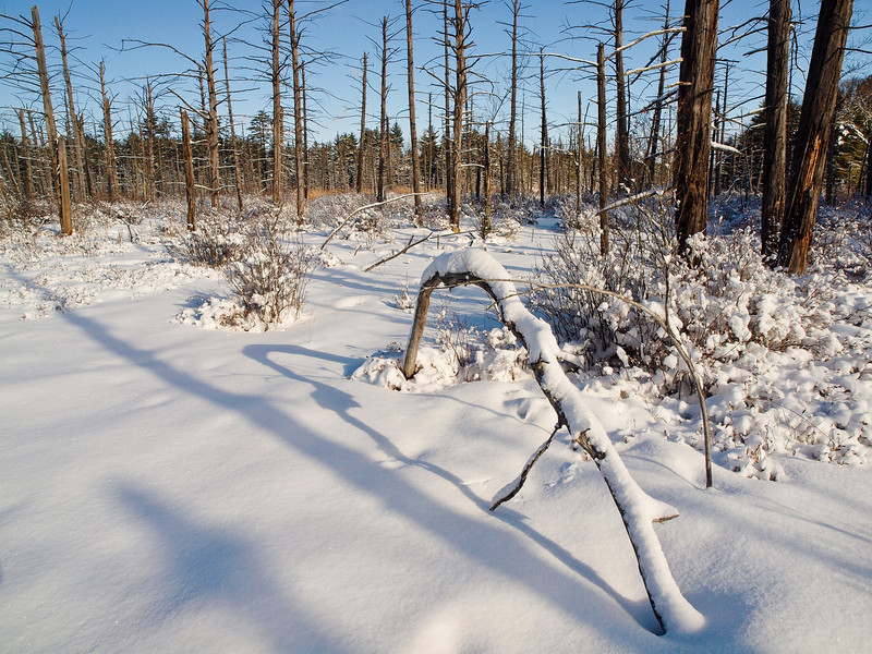 A little different take on this bent tree in the Musquash Conservation Area