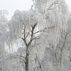 Frozen Trees (9)