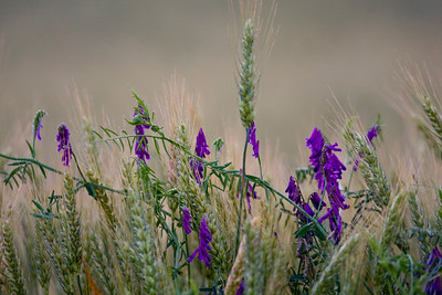Wheat and Vetch