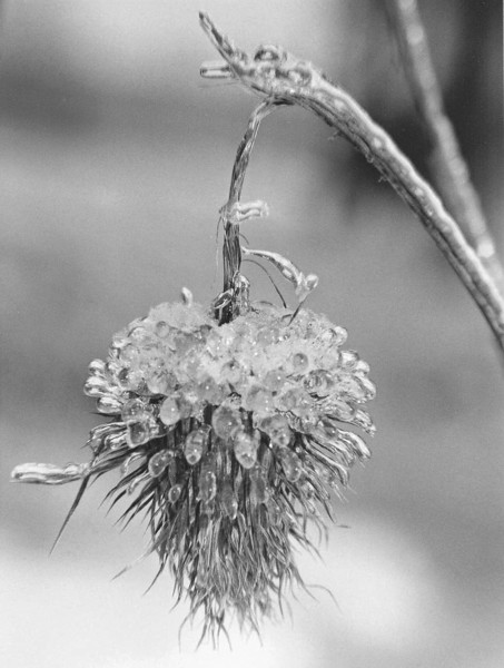 """an old thistle transformed into  """"Ice Flower"""""""