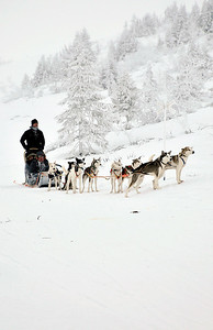 Swedish sled dogs awating their turn to race