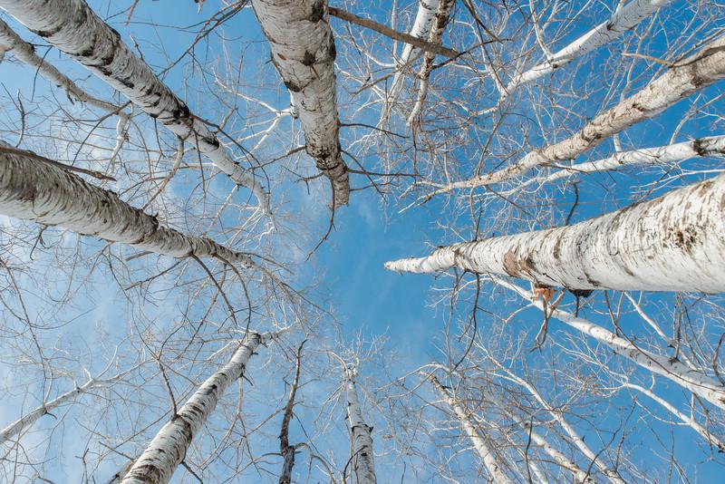Aspens reaching for the sky