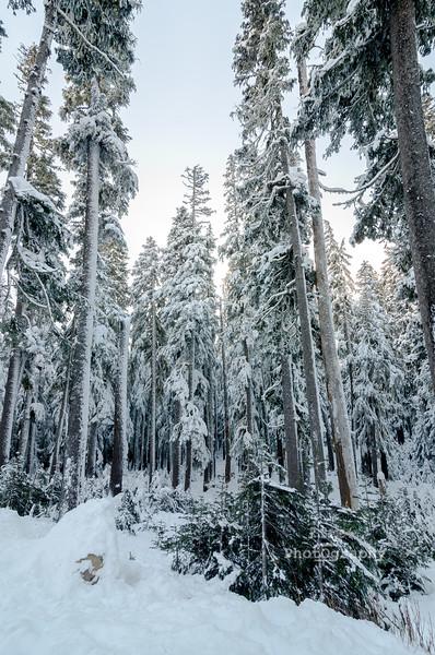 winter firs-7919