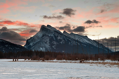 Elk at sunrise, Mount Rundle, Banff