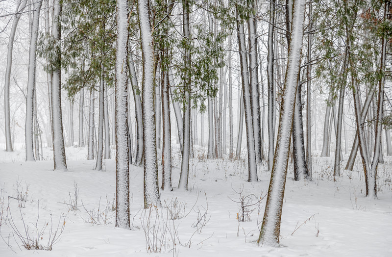 Pines covered in snow