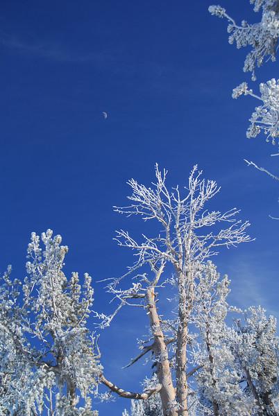 Frosty trees below the moon