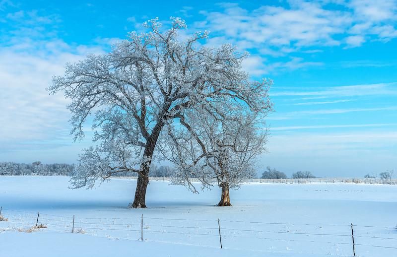 Hoar Frost on old Oak tree