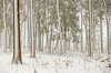 Winter squall in the forest