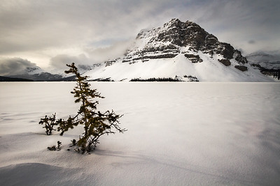 A stubborn sapling weathers the winter on Bow Lake