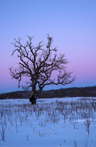 Burr Oak at twilight