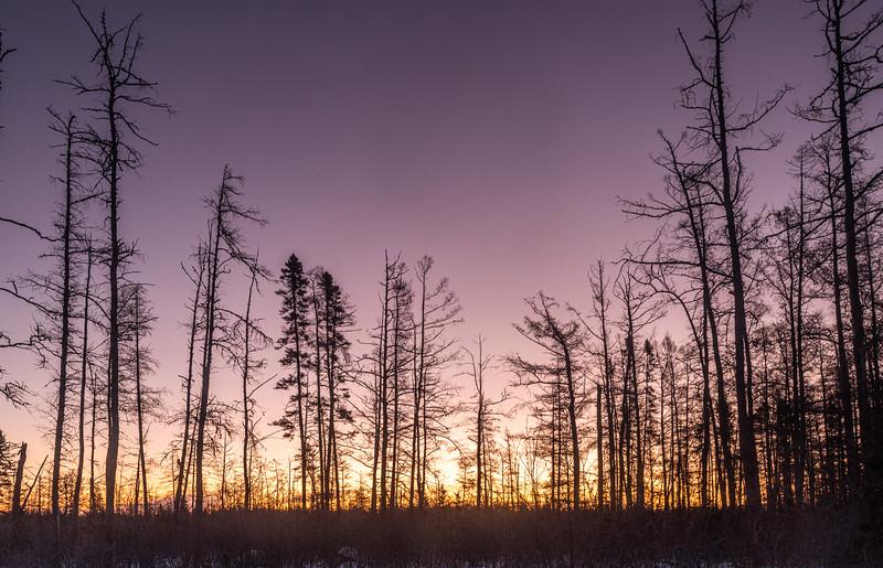Sunrise at Spruce-Tamarack bog