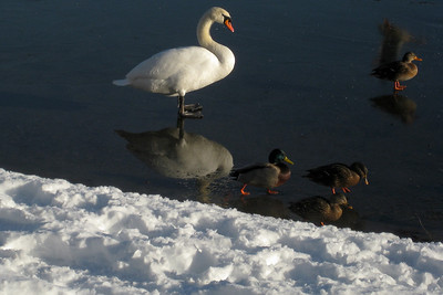 Reflected Swan on Ice.