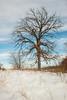 Oak tree in winter