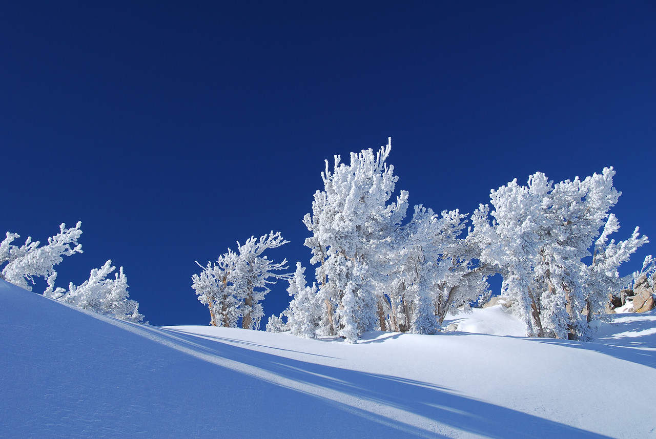 Snow covered pines in the high Sierras