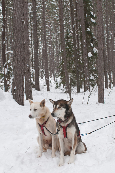 MNGN-11096: Sled Dogs resting in Pine Forest