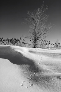 Varennes, Qc, Canada: tracks of a small rodent on the winter snow coming from the tree. / Traces d'un petit rongeur d'un petit rongeur dans la neige provenant et retournant à l'arbre.
