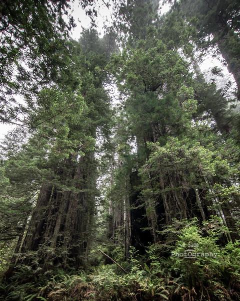 double redwoods-2818