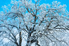 Hoar frost on oak limbs