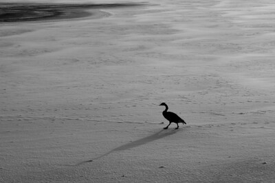 Lonesome Goose Walking - Jamaica Pond, Boston, MA.